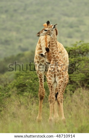 Giraffe adult with cute young - stock photo