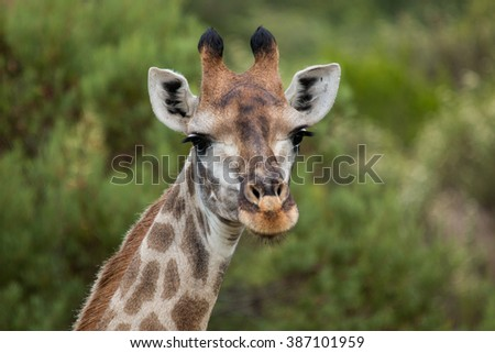 giraffe african mammal nature reserve south africa gondwana - stock photo