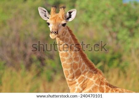 Giraffe - African Wildlife Background - Baby Animals and Innocent Beauty  - stock photo
