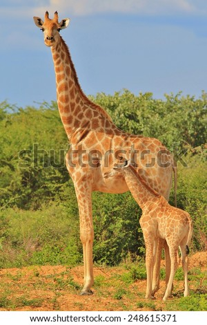 Giraffe - African Wildlife Background - Loving Mom - stock photo