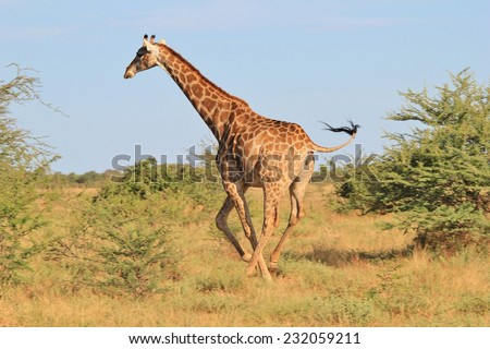 Giraffe - African Wildlife Background - Posture of an Iconic Animal in Gallop - stock photo