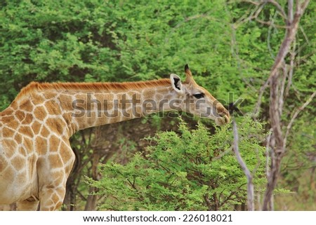 Giraffe - African Wildlife Background - Posture of Unique Pattern and Contour - stock photo