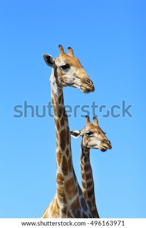 Giraffe - African Wildlife Background -Together Life is Fun