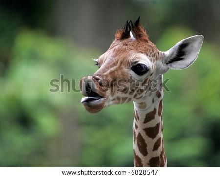 Giraffe against a greens background. - stock photo