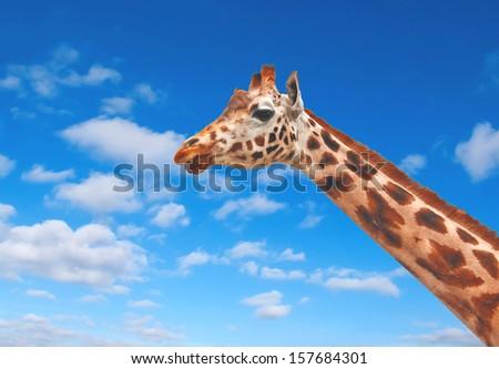 Giraffe against the clear blue sky - stock photo