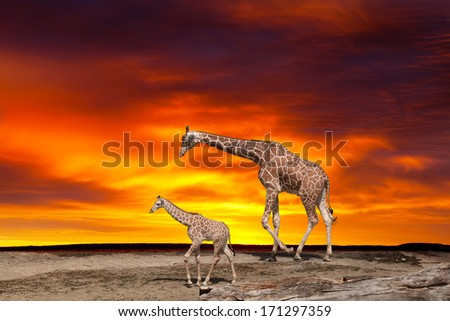 Giraffe and a cub against a bright sunset - stock photo