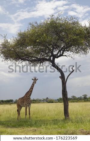 Giraffe and Acacia Tree in grasslands of Masai Mara near Little Governor's camp in Kenya, Africa - stock photo