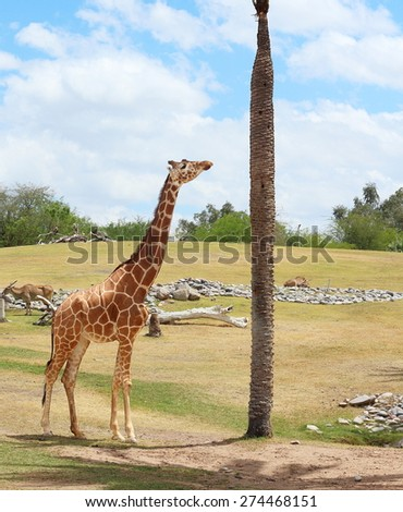 Giraffe and African animals in the wild - stock photo