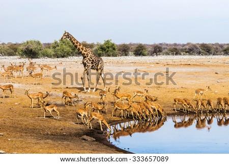 Giraffe and black faced impala herd at Chudop waterhole in Etosha national park, Namibia. - stock photo