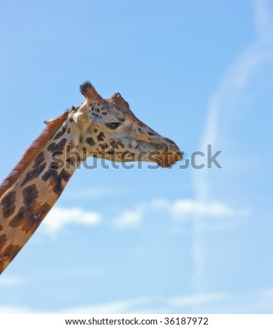 Giraffe - and blue sky as background, Very sharp and detailed. - stock photo