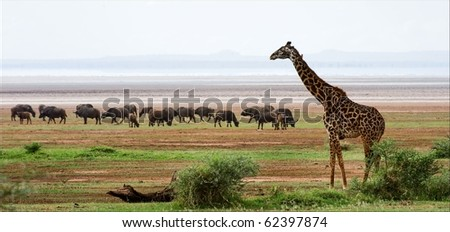 Giraffe and buffalos. The giraffe costs against grazed herd of buffalo s. - stock photo