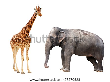 Giraffe and elephant isolated - stock photo