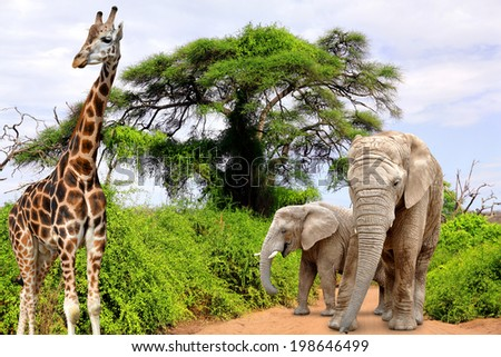 Giraffe and elephants in Kruger park South Africa - stock photo