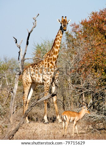 Giraffe and Impala - Kruger National Park, South Africa - stock photo