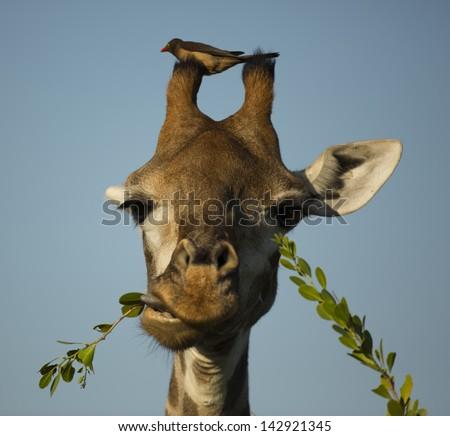 Giraffe and oxpecker - stock photo