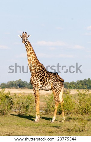 Giraffe and Puku in the outback of Zambia - stock photo