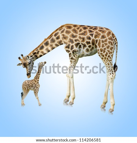 Giraffe And Young One On Blue Background - stock photo