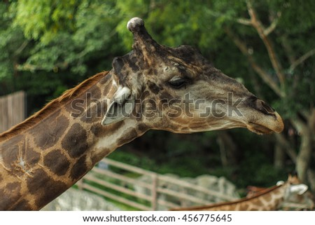 Giraffe Animal. - stock photo