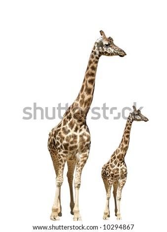 Giraffe animals isolated neck nature - stock photo