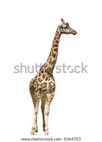 Giraffe animals isolated neck zoo nature wildlife