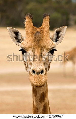 giraffe at eye level