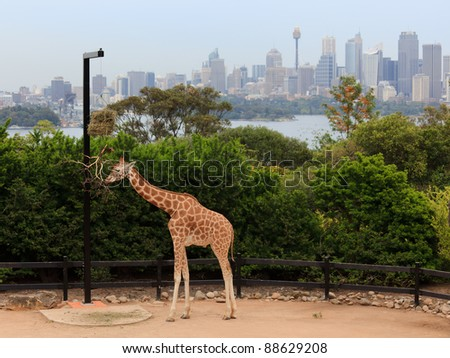 Giraffe at Taronga zoo feeding with Sydney CBD skyscrapers in the background