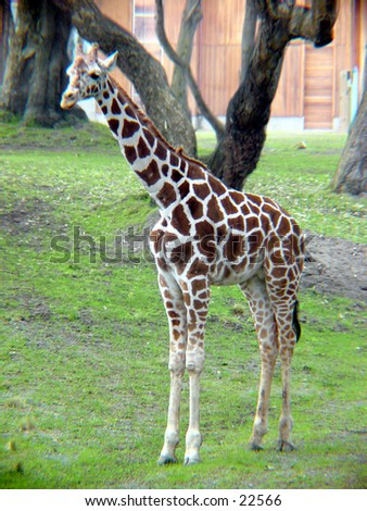 Giraffe at the San Francisco Zoo - stock photo