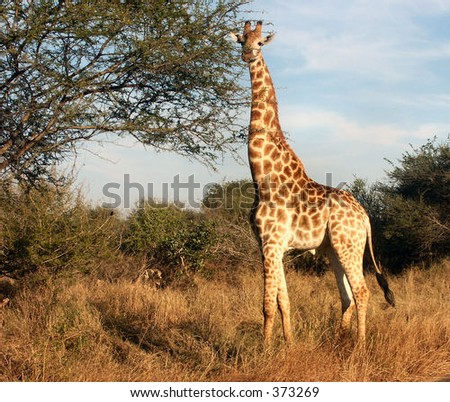 Giraffe attention - stock photo