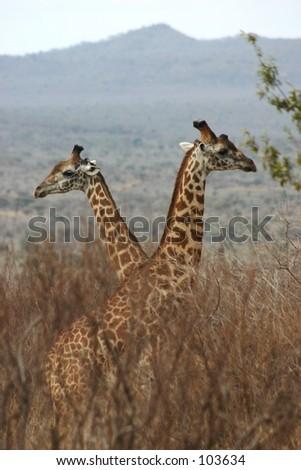 Giraffe boys 1,04 - stock photo