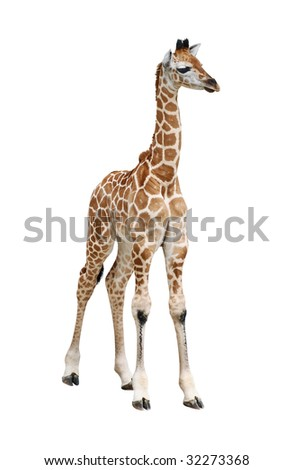 Giraffe calf on white background