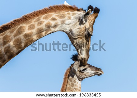 Giraffe Calf Touch Affections Wildlife animals giraffe mother with her calf closeup neck touching affections in their habit wilderness reserve.