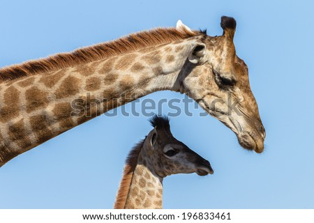 Giraffe Calf Touch Affections Wildlife animals giraffe mother with her calf closeup neck touching affections in their habit wilderness reserve. - stock photo