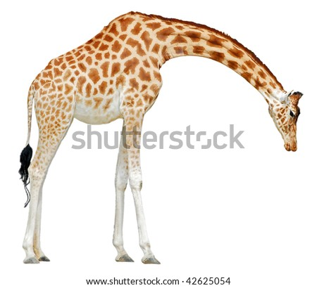 Giraffe (Camelopardalis) saw of profile head to the ground isolated on white background