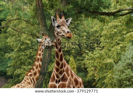 Giraffe camelopardalis - young giraffe in zoo in lodz, Poland - stock photo