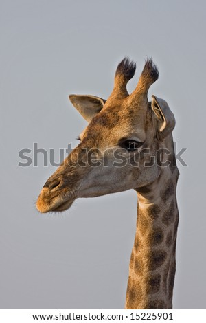 Giraffe close-up; Giraffa camelopardalis; South Africa
