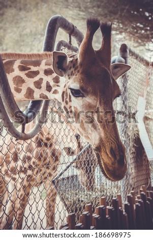 giraffe - close-up portrait of this beautiful african animal - stock photo