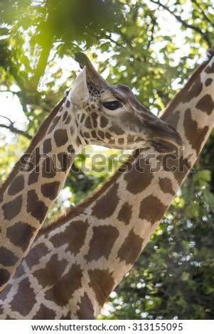 Giraffe - closeup of a giraffe head  - vertical image - stock photo