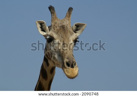 Giraffe come visiting - stock photo