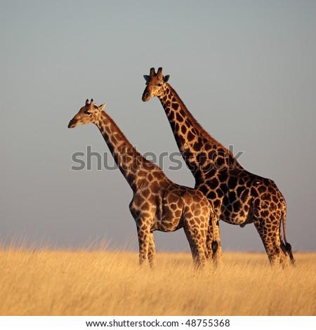 Giraffe couple in yellow grasslands in warm sunset light, Etosha NP, Namibia - stock photo
