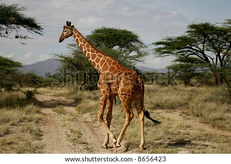 Giraffe Crossing Vehicle Track in the Buffalo Springs National park. - stock photo