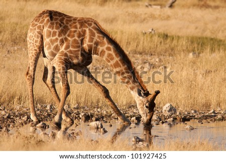 Giraffe drinking - stock photo