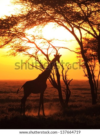 giraffe during sunrise - stock photo