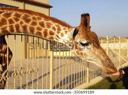 Giraffe eating corn from hands in zoo   - stock photo