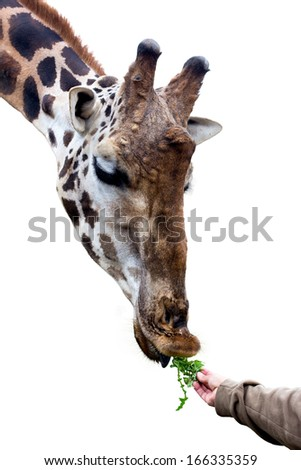giraffe eating from human hand