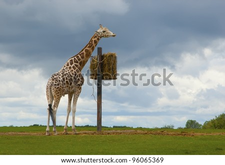 Giraffe eating grass before the rainfall Photo of a giraffe that is going to eat grasses (in a feeder) before a heavy rainfall. The photo was taken on a wide opened land. - stock photo
