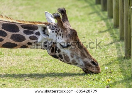 Giraffe eating grass head and neck only