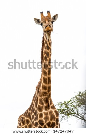 Giraffe eating with tree in the background.