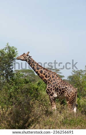 Giraffe eats leaves from the top of a tree