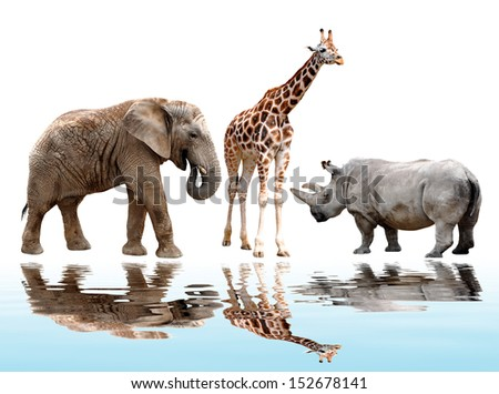 giraffe,elephant and rhino isolated on white - stock photo
