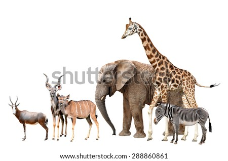 Giraffe, Elephant, Zebra, Blesbok antelopes  and Kudu isolated on white  - stock photo